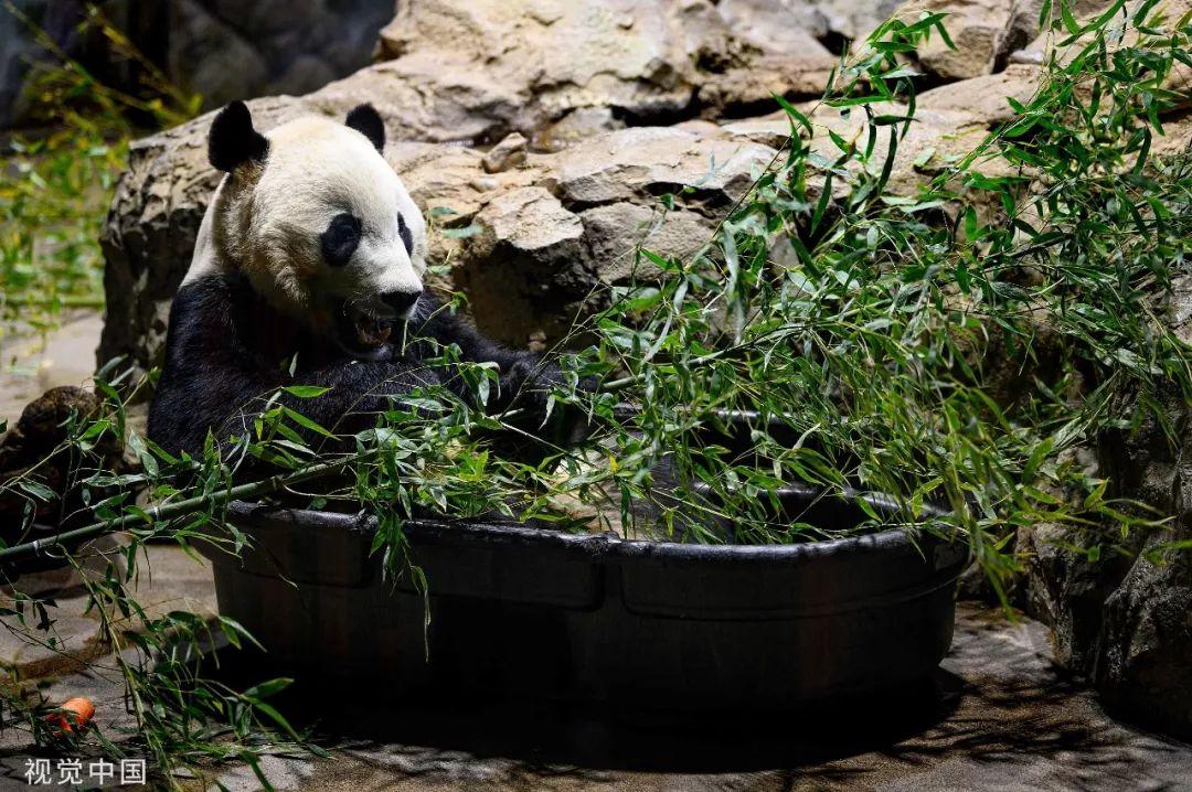 旅美大熊猫贝贝将回国 饲养员:到最后一刻我会哭|贝贝