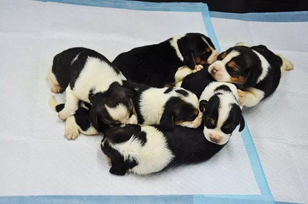 4月16日,记者从希诺谷生物科技有限公司获悉,中国首批体外受精犬(俗称试管狗)在北京诞生,此次共诞下2只公犬,4只母犬,采样送公安部南昌警犬基地检测,结果证实6只幼犬与受体母犬无血缘关系。