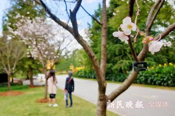 上海植物园十月樱开放