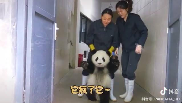 熊猫拆起家来应该没二哈什么事了[允悲]