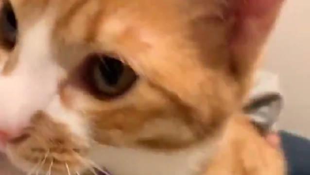 日本所有家庭都应该引进这种猫[喵喵][喵喵][喵喵]