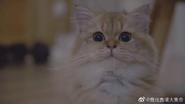 冒死偷拍金渐层麻糬饭后洗脸,看小猫咪洗脸也太治愈了吧?
