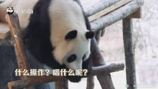 芬兰动物园给熊猫过中秋,请来合唱团唱中文歌 熊猫: