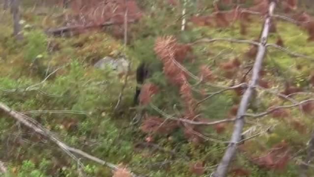 抵近猎杀全尺寸棕熊