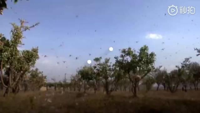 蝗灾泛滥从非洲蔓延至亚洲: