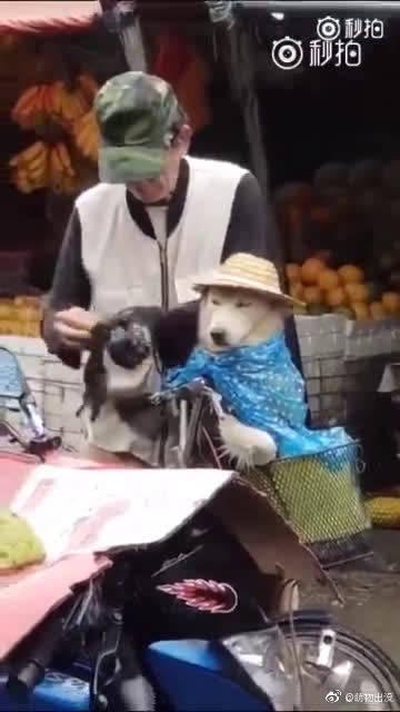下雨了,可爱的老爷爷给狗子穿了一套雨衣,还有小帽子!哈哈