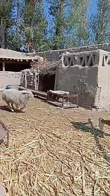 听老家人说,骑羊烂裤裆!