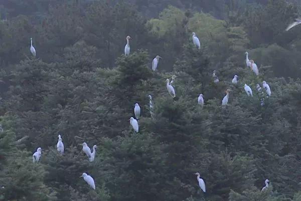 白鹭在林间驻足停留。