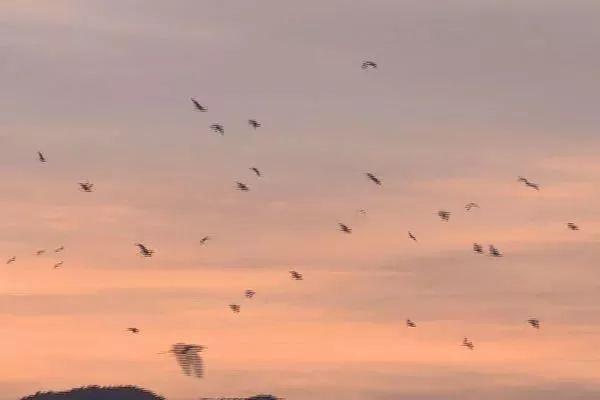 成群白鹭在朝阳下飞翔。