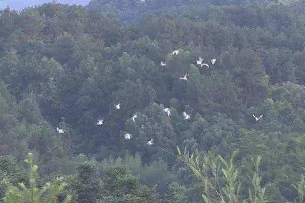 满山白鹭在林间嬉戏。