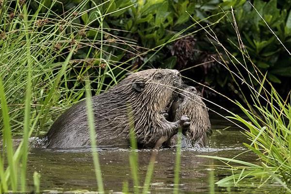 苏格兰两只海狸河中扭打搏斗,画面可爱搞笑