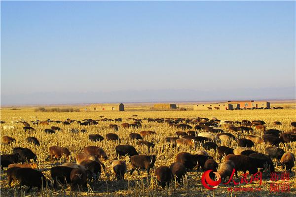新疆裕民县:发展农区畜牧业助农增收