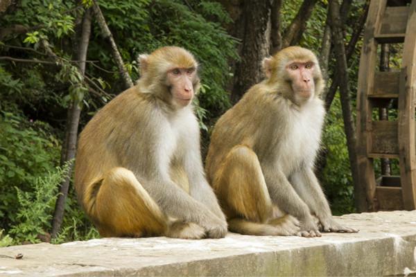 猴子袭击人类现象加剧 印度将借