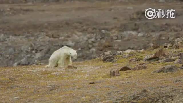 一只暴瘦的北极熊,正在翻找食物,几个小时后