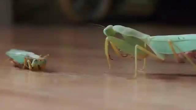母螳螂交配后会吃掉公螳螂,公螳螂为了后代甘愿被吃!!!