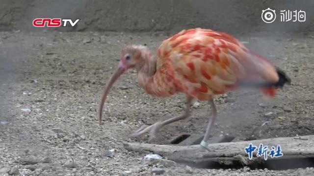 """30只世界濒危美洲红鹮""""安家""""河南郑州 这鸟真的很红"""