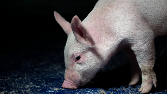 中国猪肉进口格局巨变巴西有望成为最大受益国