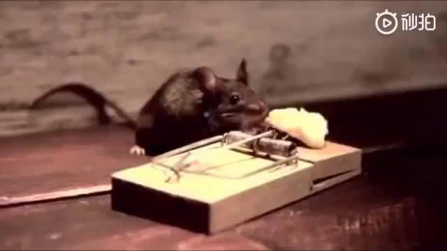 老鼠:内心毫无波澜,甚至还想健个身!