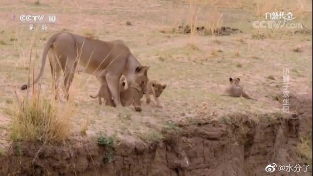 《小狮子求生记》在残酷的自然法则下,母狮抛弃了最弱小的小狮子