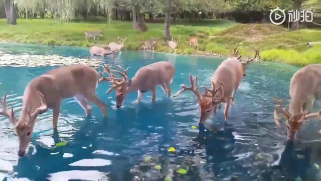 想知道这是哪里? 森林中小湖周围饮水的鹿,仿佛置身童话世界