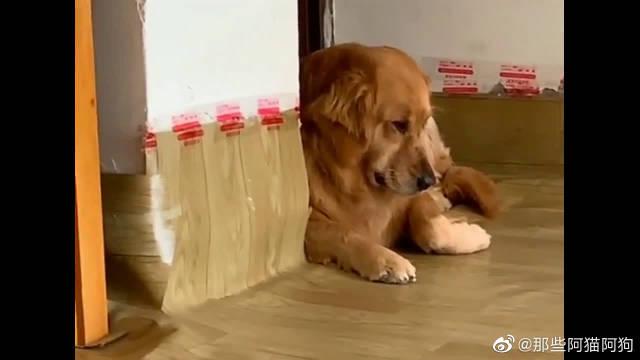 主人不给金毛吃零食,它竟趴在墙角生闷气,还翻白眼瞪人