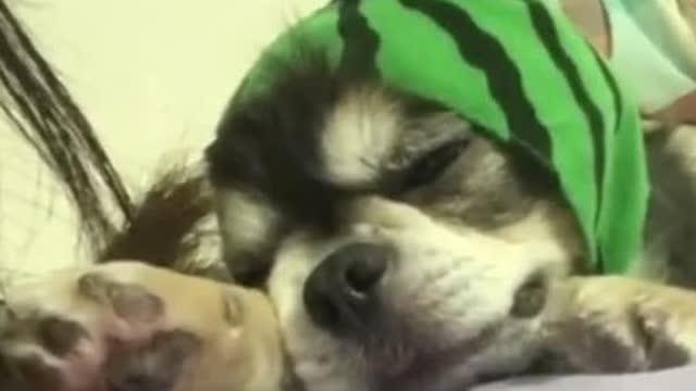 小狗子Yuki超喜欢粘人,一言不合就瘫倒在怀里,好萌好萌啊!!