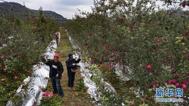 陕西志丹:苹果产业助农增收