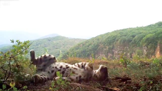 罕见!俄罗斯濒危远东豹被拍到像小猫一样玩耍 四脚朝天自得其乐