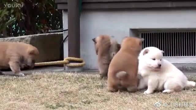 伙食充足的小柴犬把自己吃成了小胖墩, 肥肥的超可爱