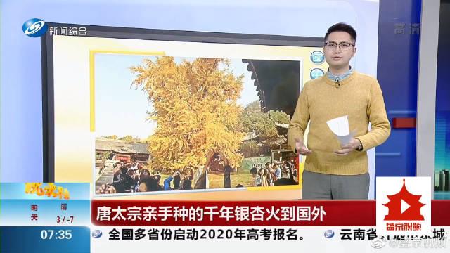 #西安银杏千年古树火到国外#唐太宗亲手种的千年银杏火到国外