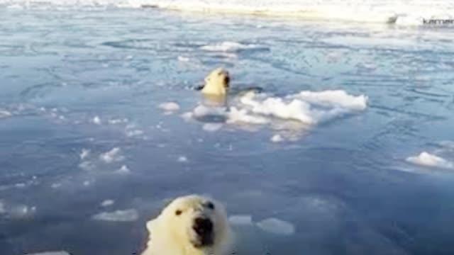 """超萌!北极熊一脸好奇""""追踪""""无人机 冰上探头探脑留下一串冰窟窿"""