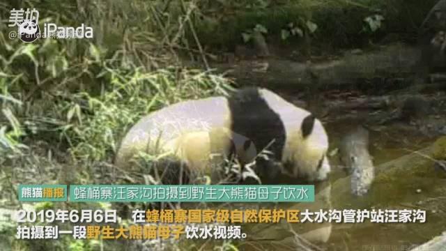 蜂桶寨自然保护区大熊猫母子饮水画面