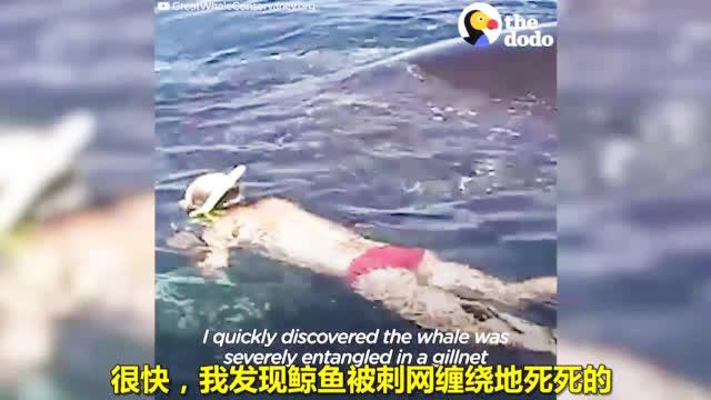 一家人成功解救被困鲸鱼,大家伙还摇尾感恩!