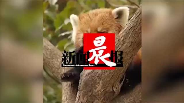 深夜TV【萌到不行啊!】一只叉着脚坐树杈上,很认真的洗爪兼洗脸的小熊猫。