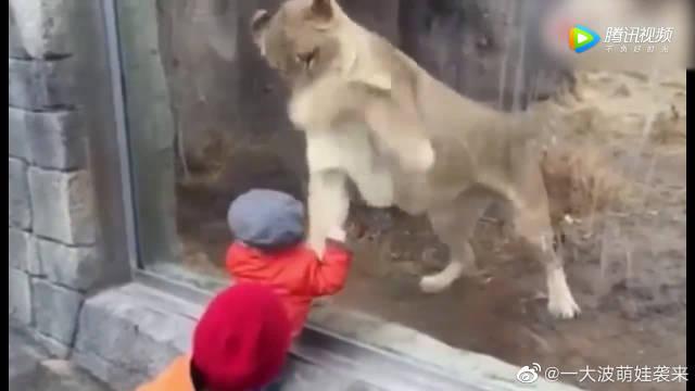 狮子想穿破玻璃吃掉小孩,没想到孩子却无动于衷!