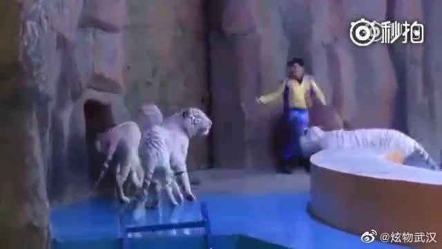 看的好心痛,一只不想表演的白虎没有听驯兽员号令