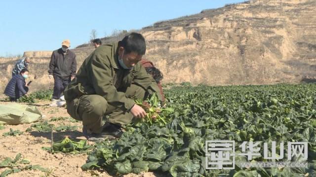 战疫情 村民为医务工作者捐献上千斤菠菜