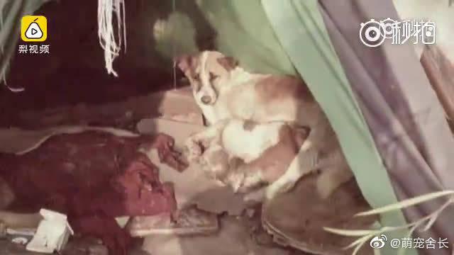 【四只幼崽被困孤岛,流浪狗每天渡江去喂奶[心]】