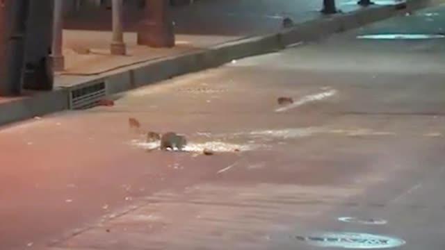"""空无一人!美国一街道被饥饿老鼠群""""占领"""" 当街横行乱窜肆无忌惮"""