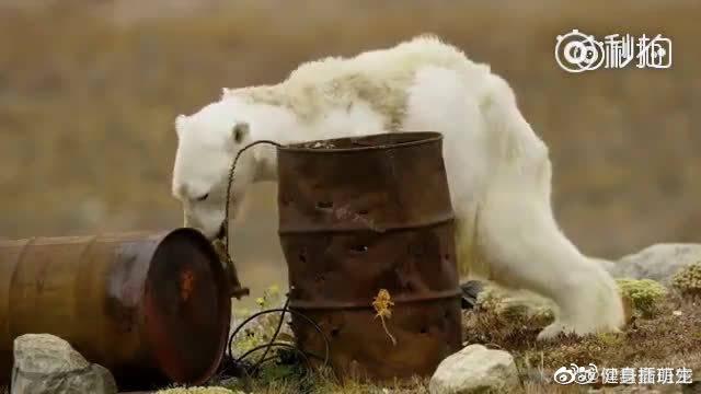 一只暴瘦的北极熊,正在翻找食物,几个小时后 因为饥饿而离世