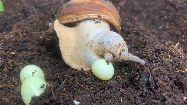 原来蜗牛是这么下蛋的