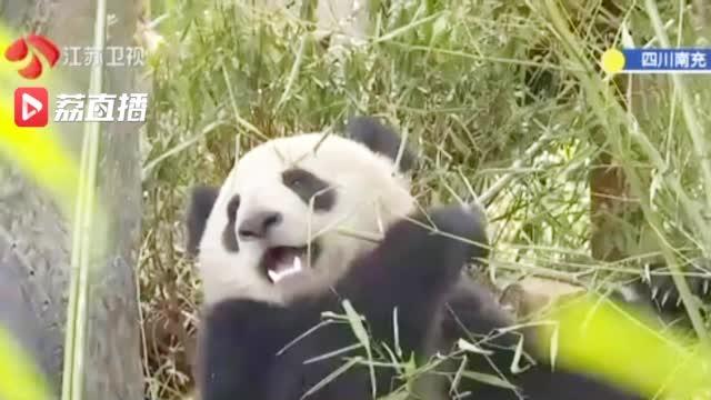 大熊猫用上人脸识别 网友:这是熊脸识别
