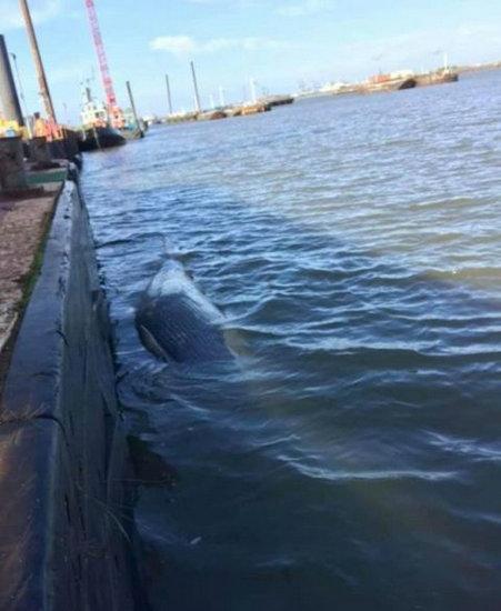 发现一具座头鲸尸体10天后 泰晤士河又发现了第二头死鲸