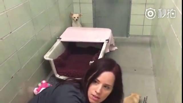 美国加州的玛林动物保护协会收容了一只被抛弃的吉娃娃狗狗