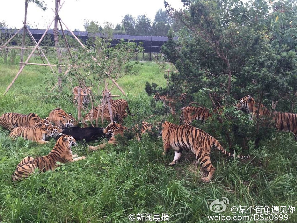 游客记录上海野生动物园猛虎咬死黑熊全程
