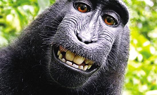 猴子鸣人的自拍照。   图片来源:   《每日邮报》网   据新华社电 一只印度尼西亚猴子4年前拾到英国摄影师戴维斯莱特的照相机,无意摆弄间拍下了几张咧嘴大笑的滑稽自拍照,后来被斯莱特出书公布。然而,美国一家动物保护组织22日向联邦法院递交诉讼,状告斯莱特将猴子的自拍照据为己有、侵犯了它的知识产权。如果原告胜诉,这将是史上首次有动物被判定拥有知识产权,将具有判例价值。   猴子因自拍照声名大噪   美国善待动物组织22日向加利福尼亚州旧金山一家联邦法院递交诉讼,除了状告斯莱特,这个组织还将英国