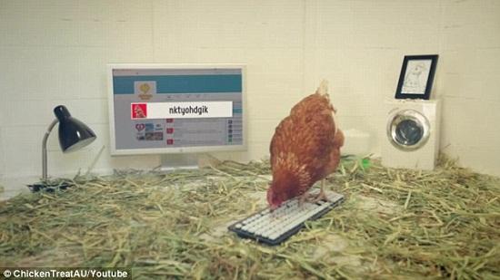 """母鸡挑战吉尼斯 或成世界首只会发""""推文""""的鸡"""