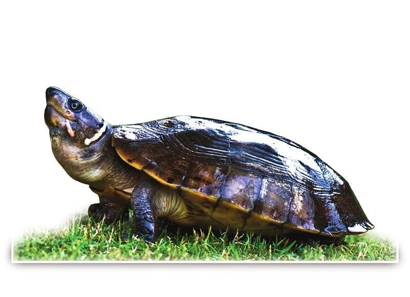 人教虽寿,怎堪教案下册|神龟|菲律宾|野生动物人类四灾难语文s版年级贪欲v人教图片
