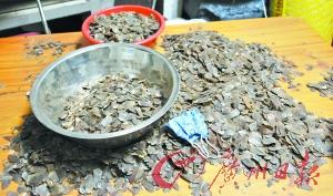 现场缴获的穿山甲鳞片约2000公斤。广州日报记者邱伟荣 通讯员林荫摄