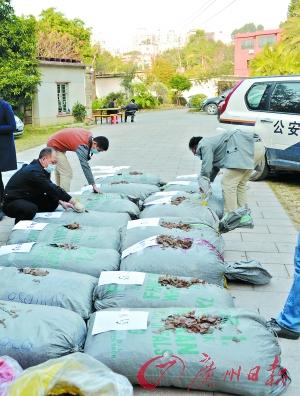 现场缴获的穿山甲鳞片约2000公斤。 广州日报记者邱伟荣 通讯员林荫摄
